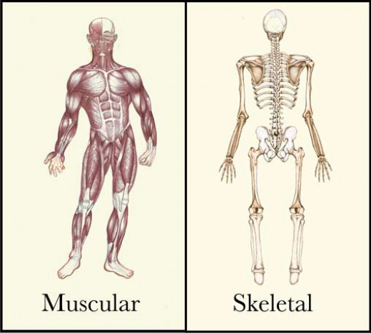 effect on the skeletal system of Skeletal system disorders and diseases though there are many medical conditions associated with the skeletal system, some of the major and most disturbing maladies include kyphosis, arthritis, osteoporosis, bone cancer, rickets, and so on.